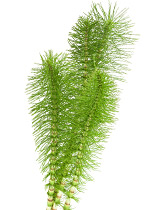 Piping Rock Horsetail Silica Supplements